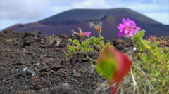 Plant living on dead volcanic ground defocus Stock Footage