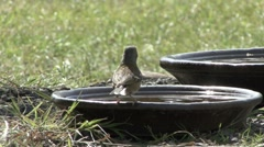 Female Chaffinch drinks from bowl and is displaced by a House Sparrow. Stock Footage