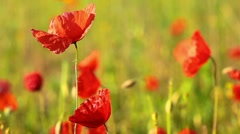 Spring flowers - poppy Stock Footage
