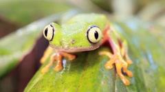 Leaf Frog (Agalychnis hulli) Stock Footage