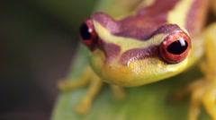Broad Headed Treefrog Osteocephalus mutabor on a bromeliad leaf - stock footage