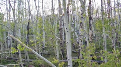 Aspen, Dixie National Forest, Utah, USA Stock Footage