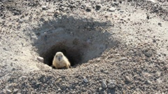 Prairie Dog comes out of his hole. Stock Footage