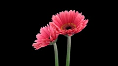 Stereoscopic 3D time-lapse of opening pink gerbera (right eye) 1a - stock footage