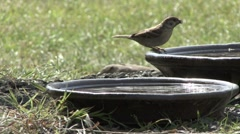 House Sparrow drinks from water bowl. Stock Footage