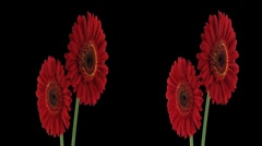 Stereoscopic 3D time-lapse of opening red gerbera (cross-eye) 2a - stock footage