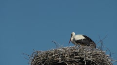 White stork (Ciconia ciconia) Stock Footage