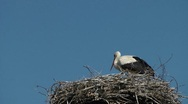 Stock Video Footage of White stork (Ciconia ciconia)
