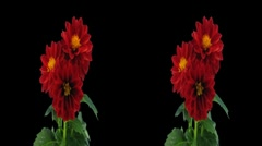 Stereoscopic 3D time-lapse of opening red dahlia 1hs 1080p (cross-vision) - stock footage