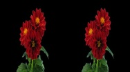 Stock Video Footage of Stereoscopic 3D time-lapse of opening red dahlia 1hs 1080p (cross-vision)