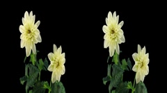 Stereoscopic 3D time-lapse of opening white dahlia 1hs (cross-vision) - stock footage