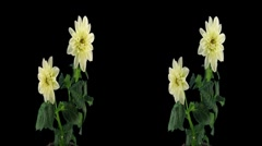 Stock Video Footage of Stereoscopic 3D time-lapse of opening white dahlia 1bhs (cross-eye)