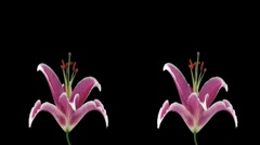 Stereoscopic 3D time-lapse of opening pink lily cross-eye 2a Stock Footage