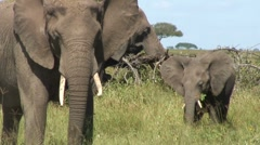 Adult & baby Elephant eating grass Stock Footage