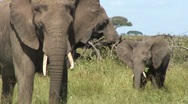 Stock Video Footage of Adult & baby Elephant eating grass