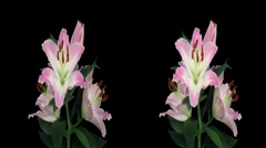 Stereoscopic 3D time-lapse of opening pink lily cross-eye 5a - stock footage