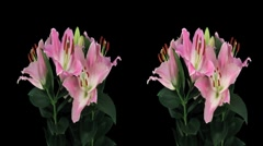 Stereoscopic 3D time-lapse of opening pink lily cross-eye 4ahs Stock Footage