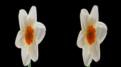 "Stereoscopic 3D time-lapse of opening narcissus ""Barret Browning"" 1hs-cross-eye - stock footage"