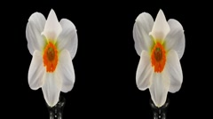 "Stereoscopic 3D time-lapse of opening narcissus ""Barret Browning"" 2ahs cross-eye - stock footage"