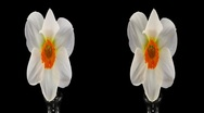 "Stock Video Footage of Stereoscopic 3D time-lapse of opening narcissus ""Barret Browning"" 2ahs cross-eye"