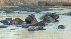 Stock Video Footage of Hippos wallowing in water in early morning