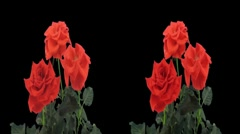 Stereoscopic 3D time-lapse of opening red rose 1ahs (cross-eye) - stock footage