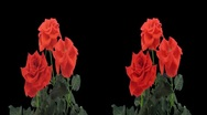 Stock Video Footage of Stereoscopic 3D time-lapse of opening red rose 1ahs (cross-eye)