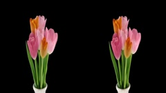 Stereoscopic 3D time-lapse of opening tulip bouquet 1hs-cross-1080p - stock footage