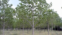 Young poplar trees Stock Footage
