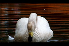 Swans on river Stock Footage