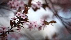 Spring Blossom Closeup - stock footage