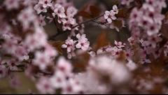 Spring Blossom 02 - stock footage