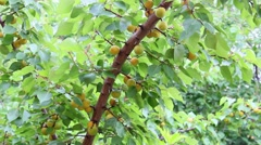 Apricots on the branch Stock Footage