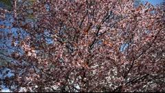 Spring Blossom 05 - stock footage