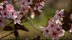 Spring Blossom 07 Stock Footage