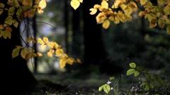 Autumn beech Stock Footage