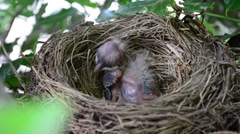 Baby Bird In Nest HD Stock Footage