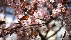 Spring Blossom 08 - stock footage
