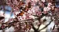 Spring Blossom 08 Stock Footage