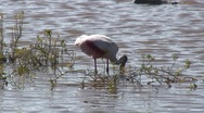 Stock Video Footage of roseate spoonbill A