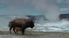 Bison Mother and Baby at Old Faithful Stock Footage