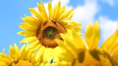 Good Morning Sunflower Stock Footage