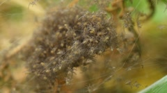 Dolomedes plantarius spiderlings Stock Footage