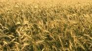 Wheat in the Sun Stock Footage