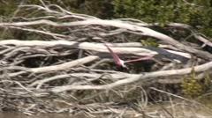 Spoonbill flight 3 Stock Footage