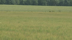 Farmland with Rye, Secale cereale ripening in the summer sun Stock Footage