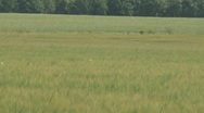 Stock Video Footage of Farmland with maturing Rye during summer - sweden
