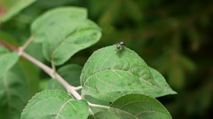 Fly on the leaves Background Stock Footage