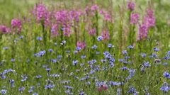 Cornflowers and lupines Stock Footage