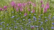 Stock Video Footage of cornflowers and lupines